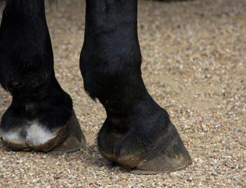 Løse beinbiter hos hest